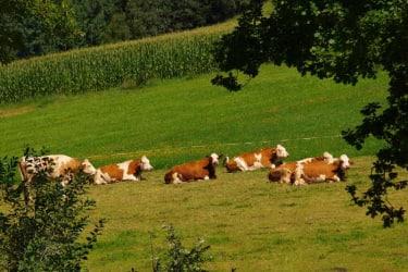 Auch unsere Kühe haben sich ein Ruhepause verdient