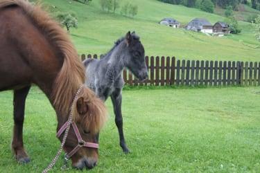 Ponyfohlen