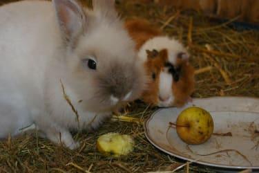 Kaninchen und Meerschweinchen