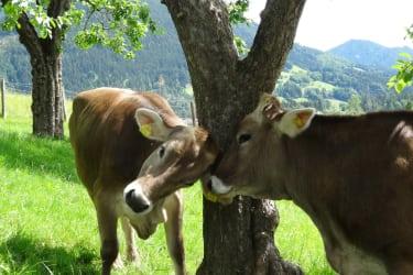 Linharterhof Kühe