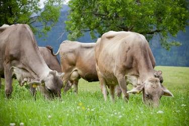 nochmals Kühe