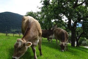 Urlaub am Bauernhof Kühe