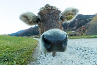 Unsere Kühe am Bauernhof