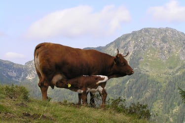Cow on the alpine pasture