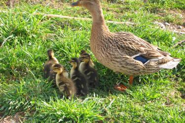 Unsere Ente mit ihren Küken