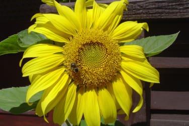 Sonnenblume 2010