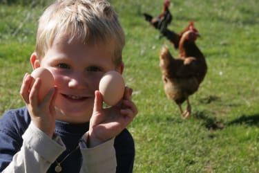 .....Eier aus dem Nest der Hühner holen !