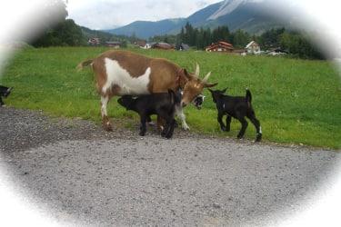 Ziegenfamilie am Deutlhauserhof