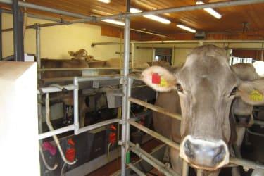 Kühe beim melken