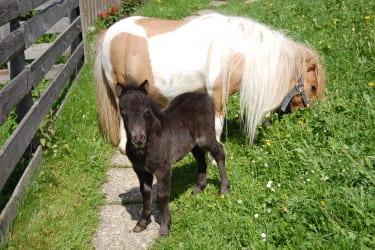 Unser Minipony-Fohlen Clara, geboren im Mai 2012