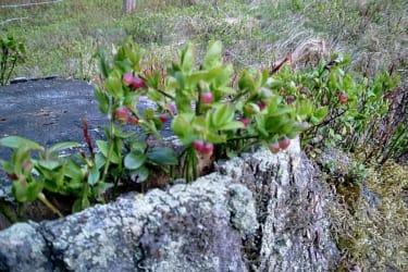 Heidelbeeren wachsen vor der Hütte