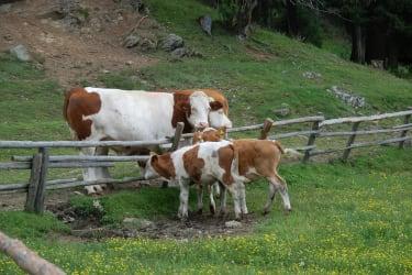 zufriedene Rinder