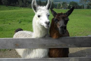 Bonnie&Clyde unsere Lamas