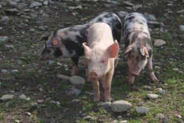 Schweine in unseren Streichelzoo
