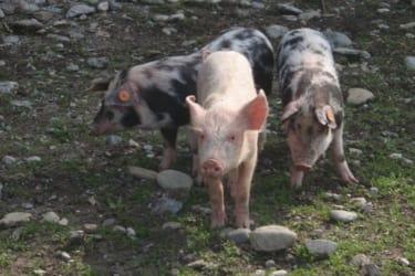 Schweine in Freiem