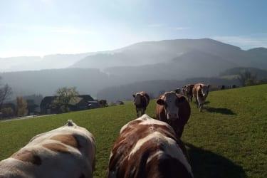 Ein Teil unserer Kuhherde