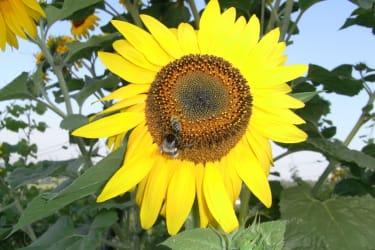 Bienen auf der Sonnenblume