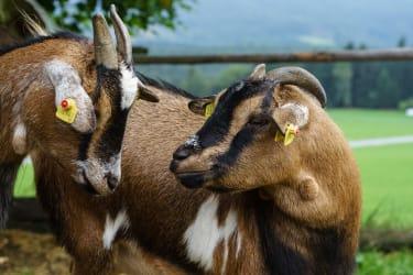 Unsere Ziegen freuen sich über Ihre Streicheleinheiten!