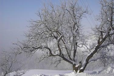 Birnbaum im Winter