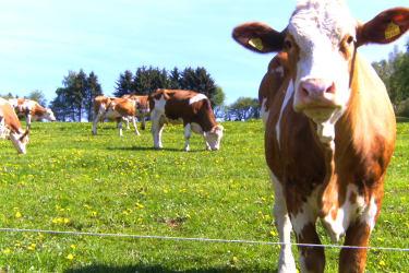 Unsere Kühe sind im Sommer auf der Weide