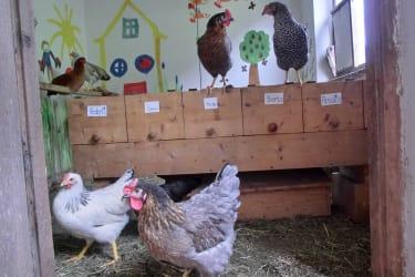 Brave Hühner