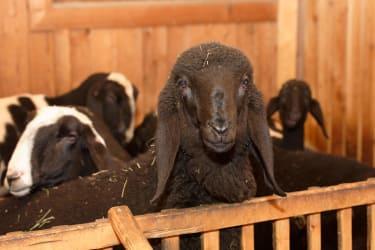 Schafe zum anfassen im Streichelzoo