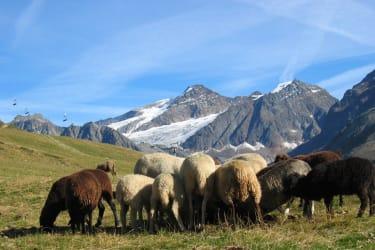 unsere Schafe auf der Alm
