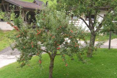 Apfelreife im August