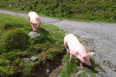 Bio Schweine
