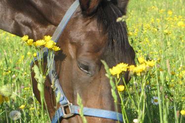 Unsere Pferde beim Grasen.