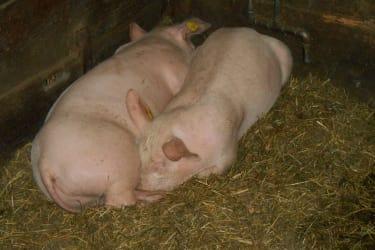 unsere Schweinchen