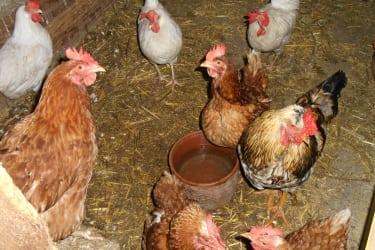 unsere Hennen mit ihrem Gockel