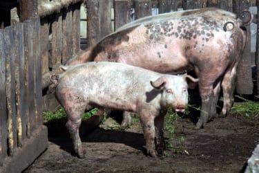 Unsere gl?cklichen freilaufenden Schweine