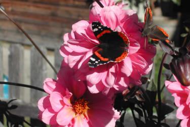schön zu beobachten, die herrlichen Schmetterlinge