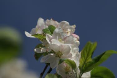 Apple blossom at the Kassnhof