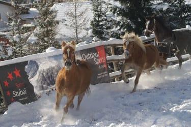 Über Neuschnee freuen sich auch unsere Haflinger