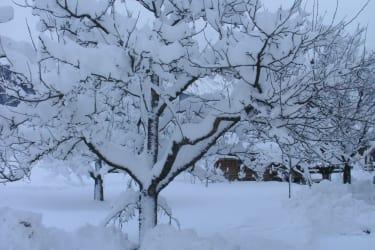 Apfelbaum in Weiß
