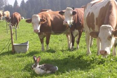 kühe und Hasen