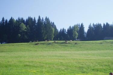 unsere Kühe oberhalb des Hofes
