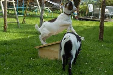 verspielte Ziegen Benni und Sissy