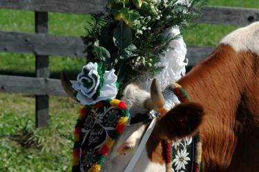 Geschmückte Kuh beim Almabtrieb im Herbst