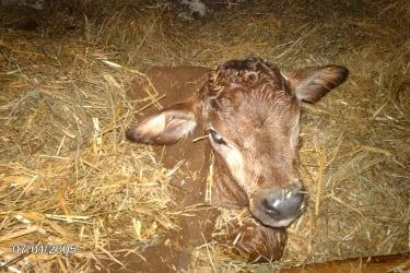 Kälbchen nach Geburt am BIO-Bauernhof Hasenberg in Waidring