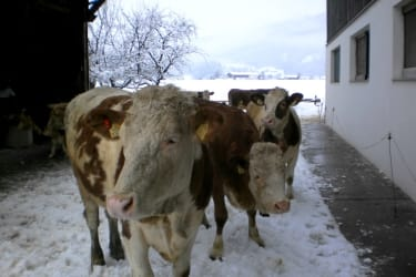 Our cows love snow as well