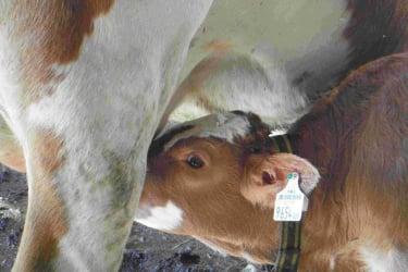 Kalb trinkt Milch