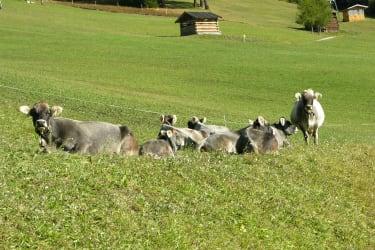 unser Tiroler Grauvieh