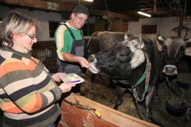Belohnung nach der Geburt für die Kuh!
