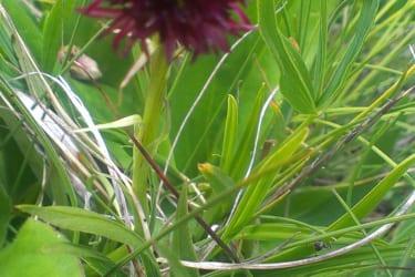 Nigritella nigra