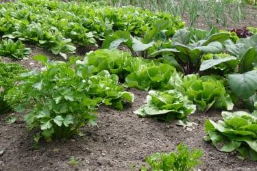 so knackig, der Salat