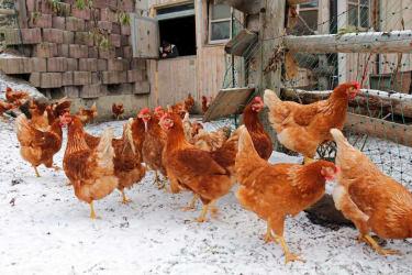 Hühner im Winter