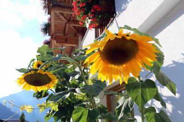 Hoch hinaus! Sonnenblumen